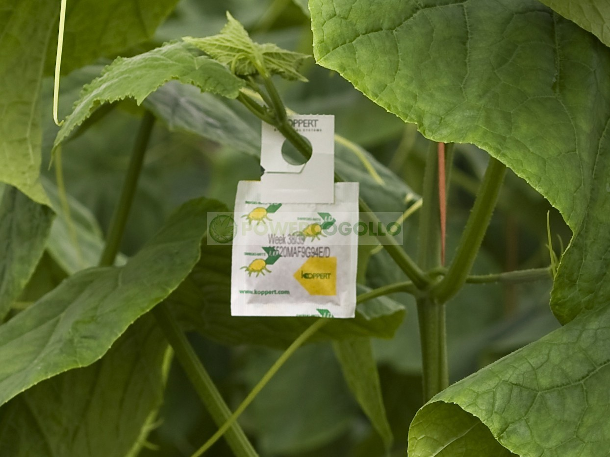 Swirskimite (contra Trips, Mosca Blanca y Araña Roja) Lucha Biológica contra las plagas 1