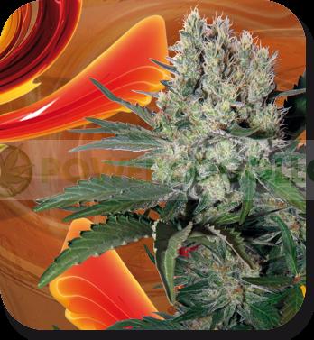 Syrup Auto Regular (Buddha Seeds)  0