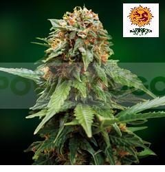 Tangerine Dream (Barney´s Farm Seeds) Semilla 0