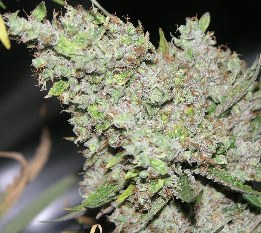 The Ultimate (Dutch Passion Seeds) 2