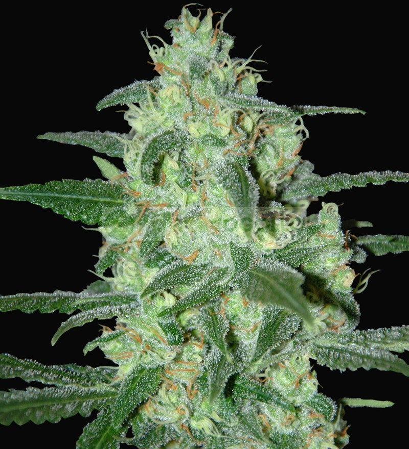 Thunder Bloody Mary (Samsara Seeds) 1