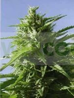 Tikal (ACE Seeds) Regular 0