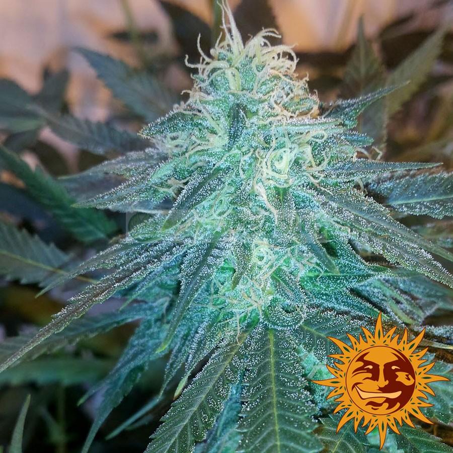 TRIPLE CHEESE (Barney´s Farm Seeds) 1