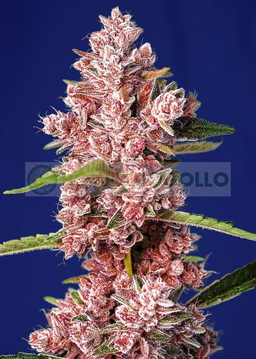 Tropicanna-Poison-F1-Fast-Version-Sweet-Seeds-feminizada.jpg 0