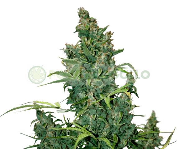 Tundra #2 Auto (Dutch Passion) Semilla Automatica Cannabis 1