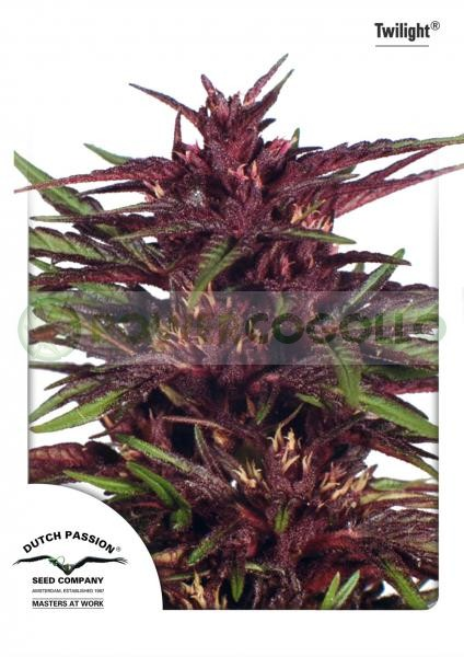 Twilight (Dutch Passion) Semilla feminizada Cannabis cogollo Morado 0