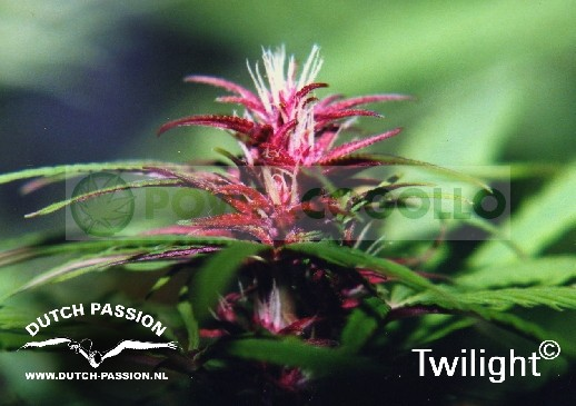 Twilight (Dutch Passion) Semilla feminizada Cannabis cogollo Morado 1
