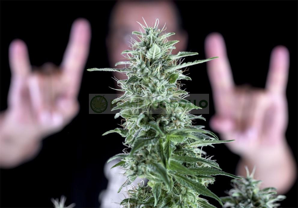 Txees Bilbo (Genehtik Seeds) 2