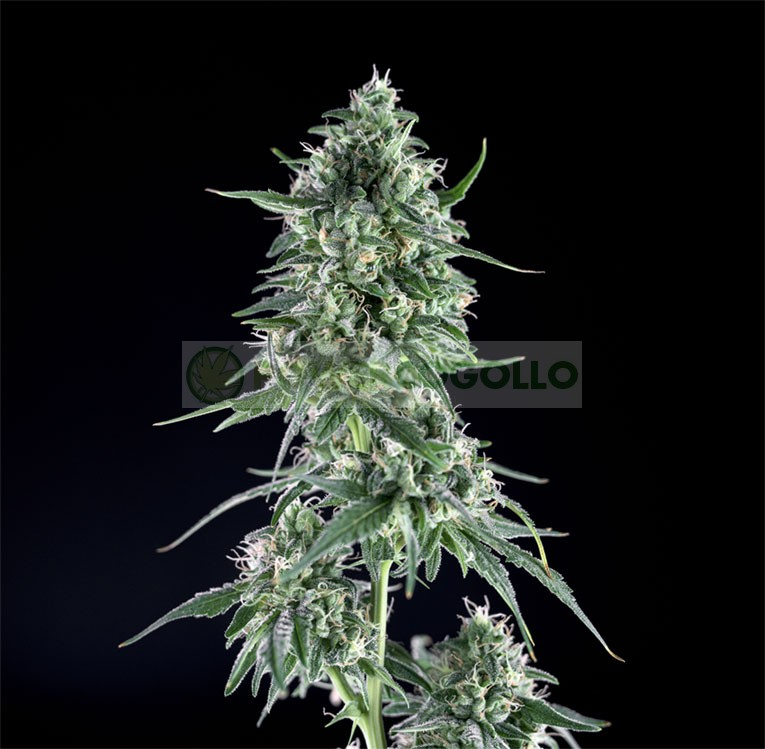 Txees Bilbo (Genehtik Seeds) 1