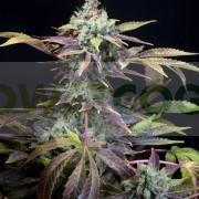 Txomango (Genehtik Seeds) 1