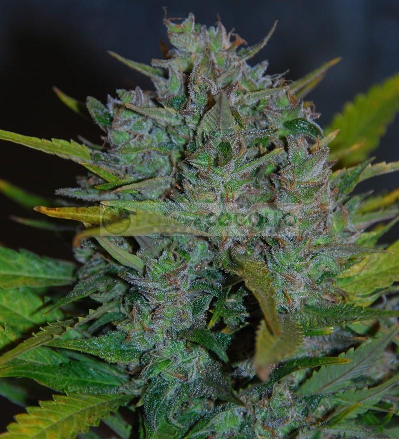 Ultraviolet (Samsara Seeds) Semilla Autofloreciente  0