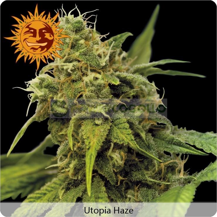 Utopia Haze (Barney´s Farm) Semilla Feminizada Ganadora de Cannabis Cup & Sativa Cup 2008. Utopia Haze (Barney´s Farm)  Todas las semillas feminizadas de Barney´s Farm Seeds en nuestras tiendas Dr.Cogollo - Powercogollo.com tu growshop más barato online N 0