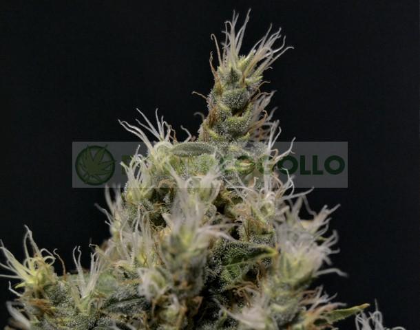 Vanilla Haze (CBD Seeds) Semilla FEminizada 0