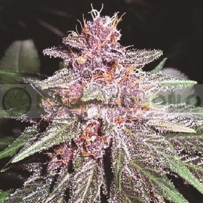 Violeta Regular (ACE Seeds) 0