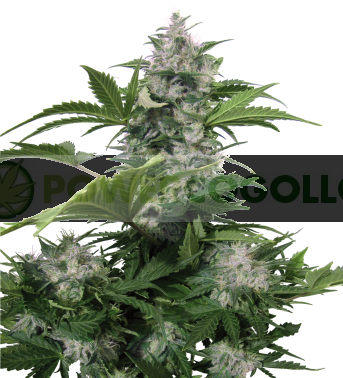 Semilla Autofloreciente White Dwarf Cannabis regular de Buddha Seeds 1