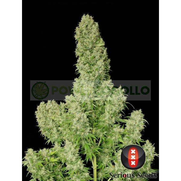 White Russian Feminizada (Serious Seeds) 2