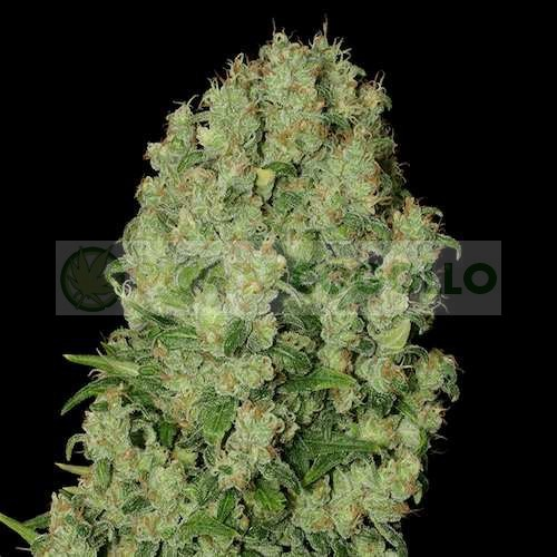 White Russian Feminizada (Serious Seeds) 1