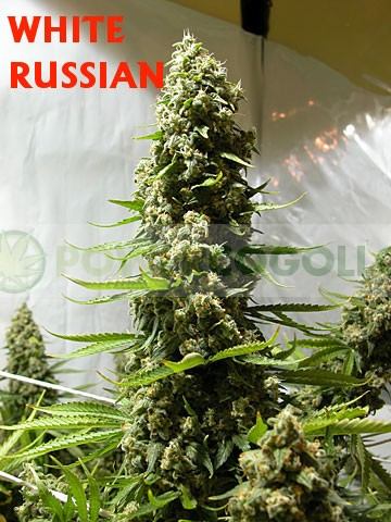 White Russian Feminizada (Serious Seeds) 3