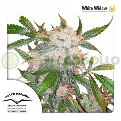 White Widow Feminizada (Dutch Passion) 0