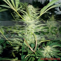 White Widow (Medical Seeds) Semilla feminizada 0
