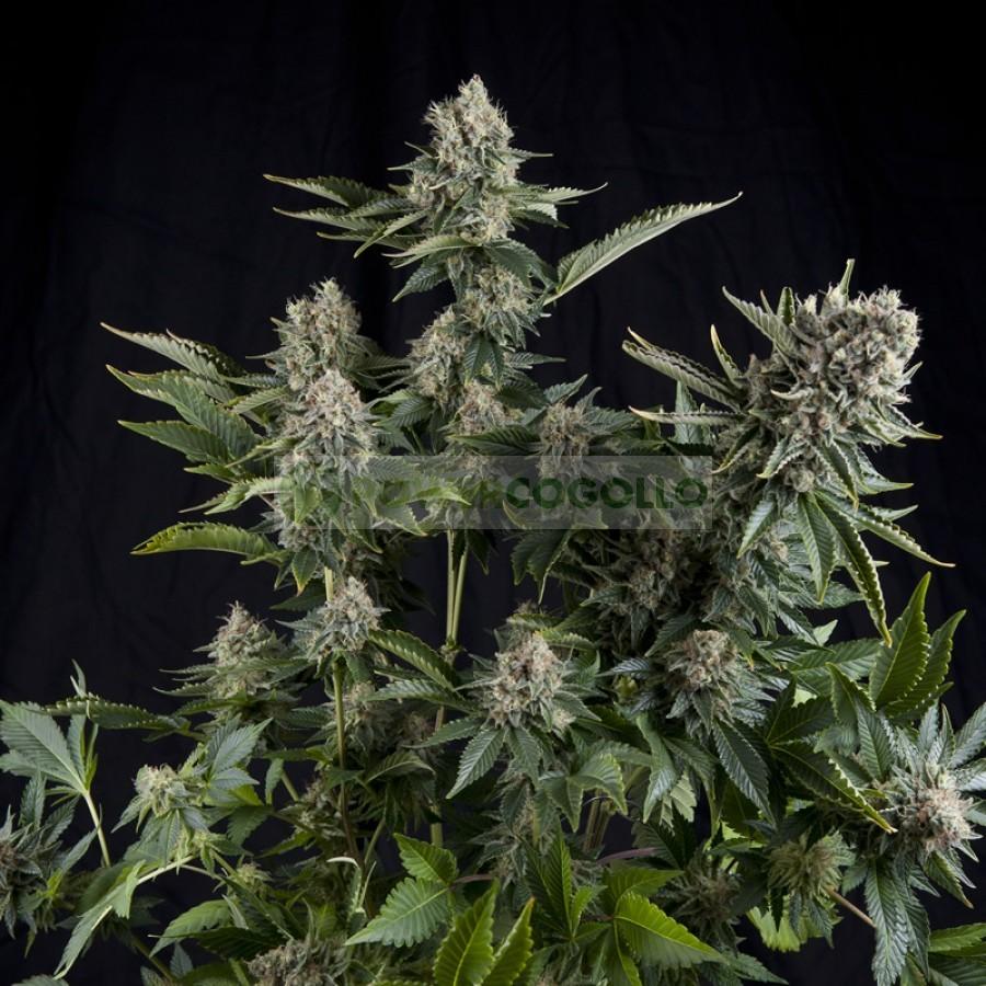 White Widow (Pyramid Seeds) 1