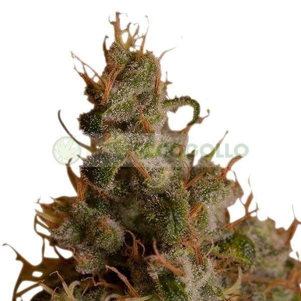 White Widow (Royal Queen Seeds) Feminizada 3