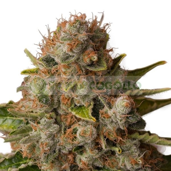 White Widow (Royal Queen Seeds) Feminizada 2
