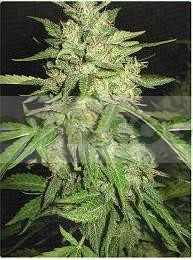 Widow (Profesional Seeds) Feminizada 0