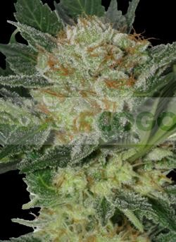 Widow (SeedMakers) Semilla Feminizada Cannabis-Marihuana barata 0