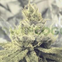 Y Griega (Medical Seeds) Feminizada 0