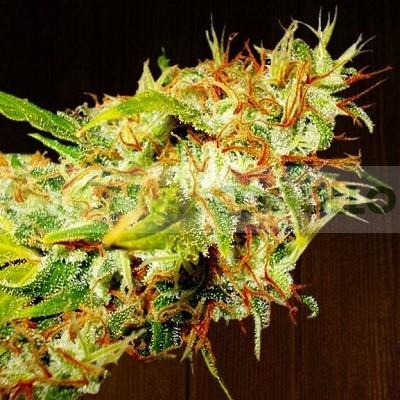 Zamaldelica Feminizada (ACE Seeds) 0