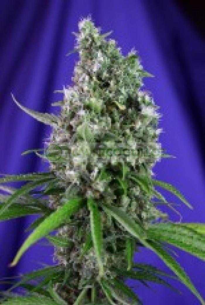 Sweet Trainwreck Auto 4G (Sweet Seeds) Semilla Autofloreciente