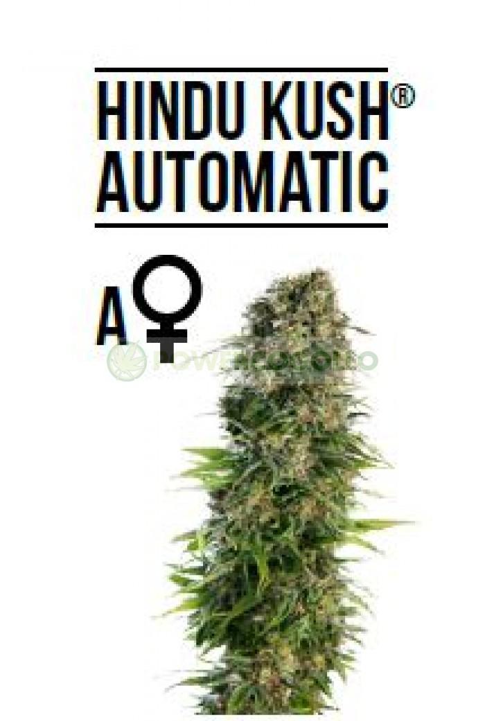 Hindu Kush Automatic (Sensi Seeds)-5