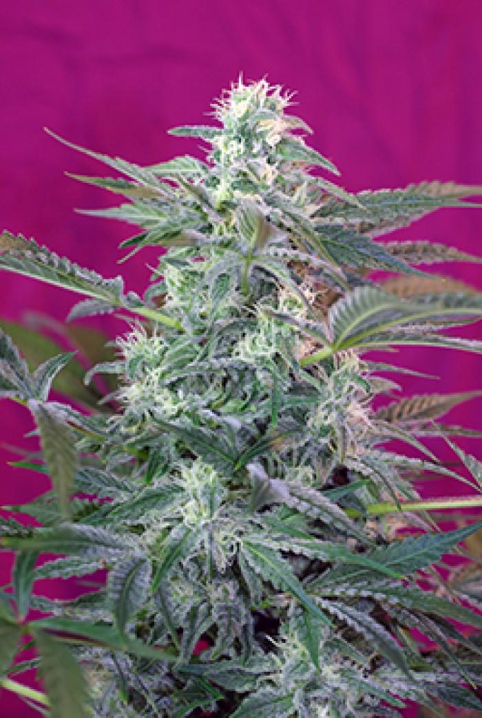 Big Foot (Sweet Seeds) Semilla feminizada marihuana cultivo interior-exterior