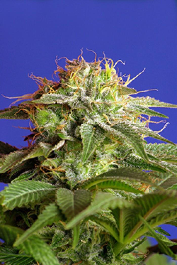 Green Poison (Sweet Seeds) Feminizada
