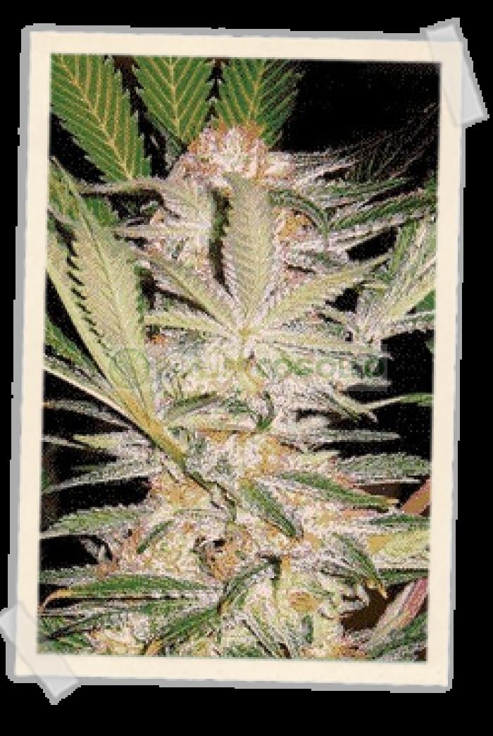S.A.D. (F1 Fast Version) Sweet Seeds Semilla Feminizada Muy rápida floración