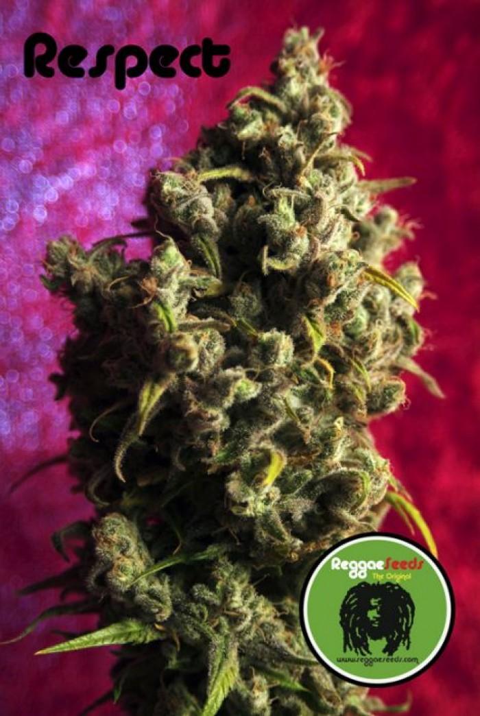 Respect (Reggae Seeds) Regular,