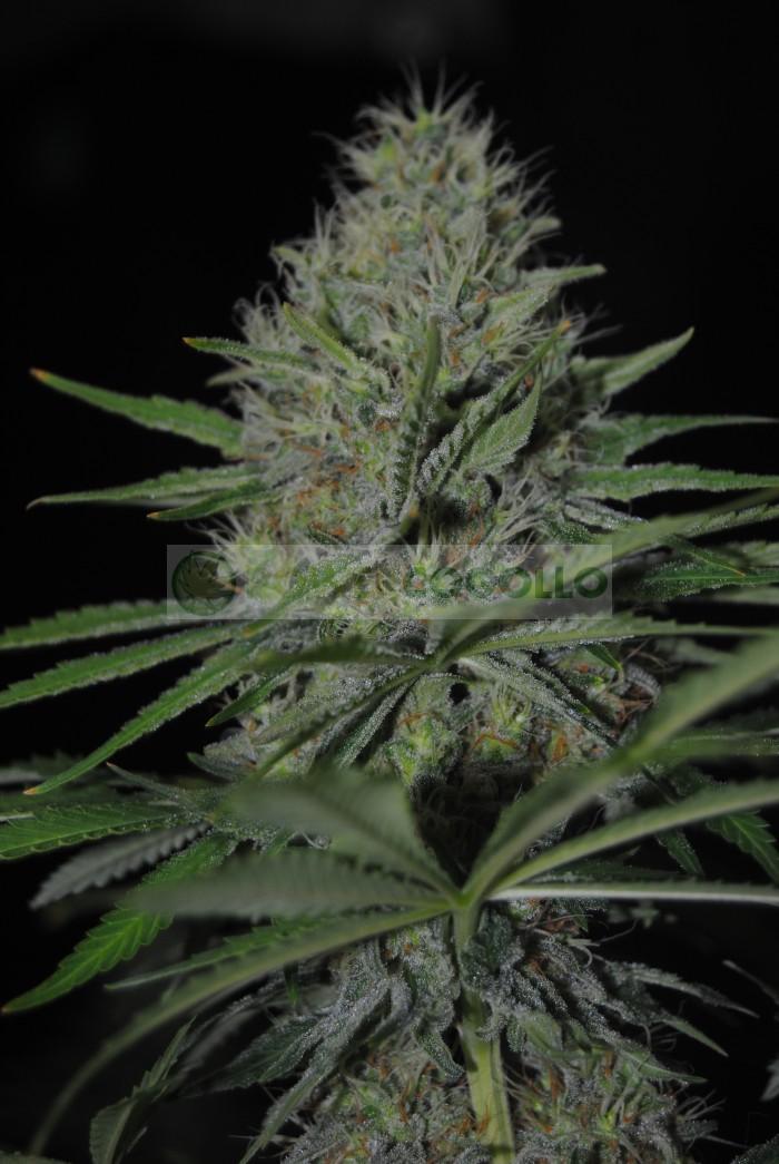 Dreams Feminizada (Dreams Cannabis Seeds)
