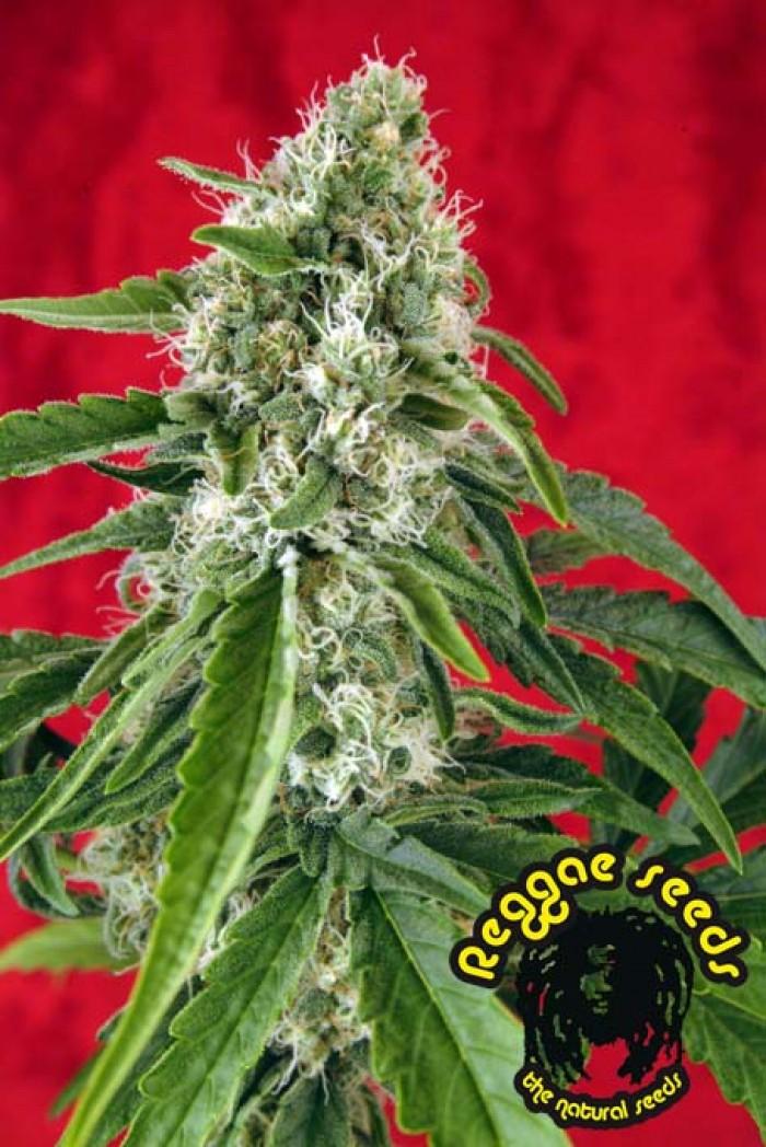 Dub (Reggae Seeds) Regular