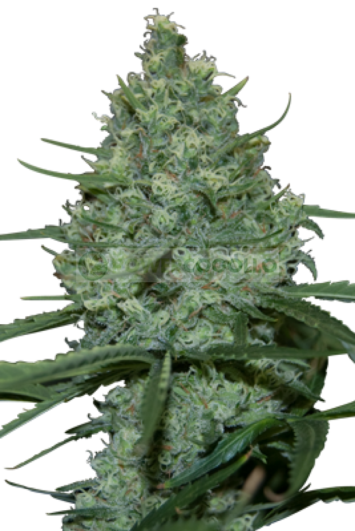Critical (SeedMakers) Semilla Feminizada
