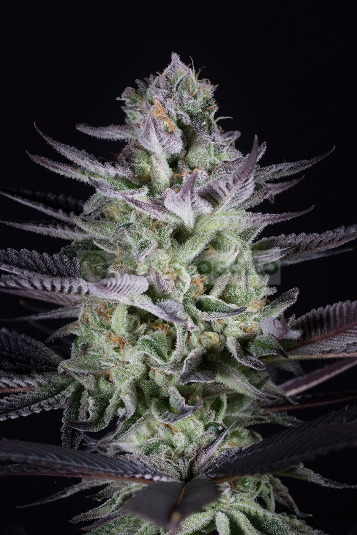 Blueberry Cookies Feminizada (Dinafem Seeds)