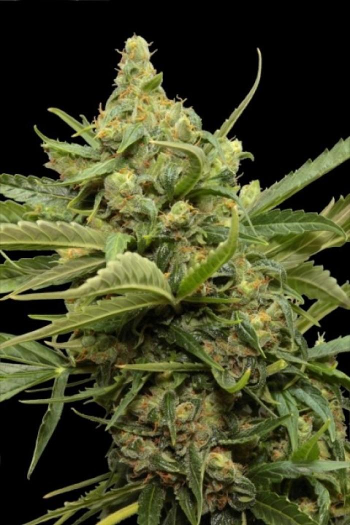 Haze Gom Automatic (Grass-o-Matic) Semilla Feminizada Autofloreciente Cannabis