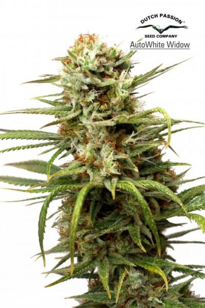 AutoWhite Widow (Dutch Passion) Semilla Autofloreciente Feminizada Cannabis