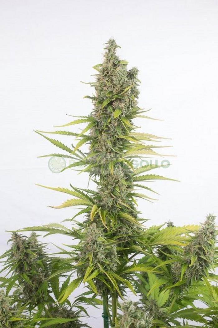 Amnesia Auto CBD (Dinafem)-10 Semillas