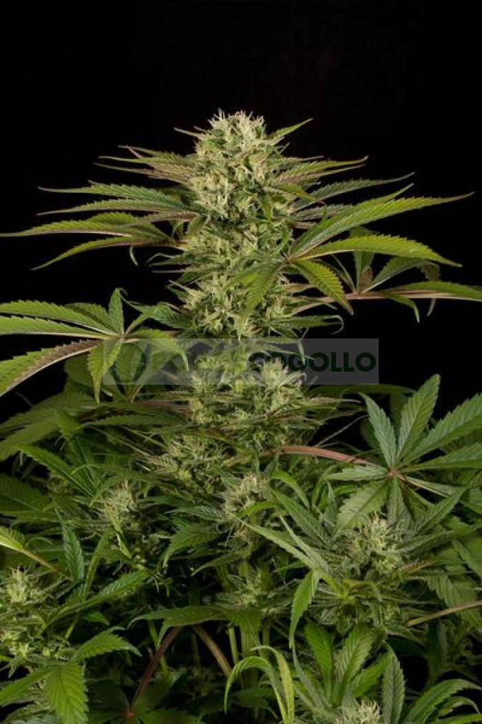 Blue Cheese (Dinafem) Semilla Feminizada Cannabis