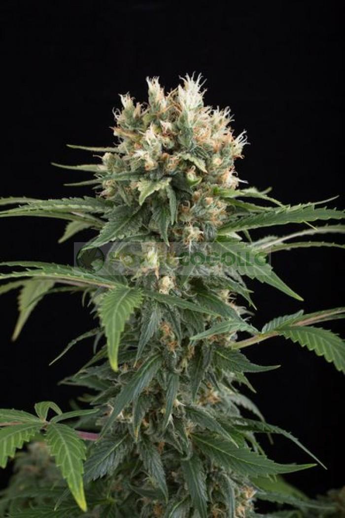 Blue Thai (Dinafem) Semilla Feminizada Cannabis