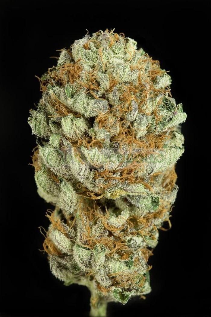 Blue Kush (Dinafem) Semilla Feminizada Cannabis
