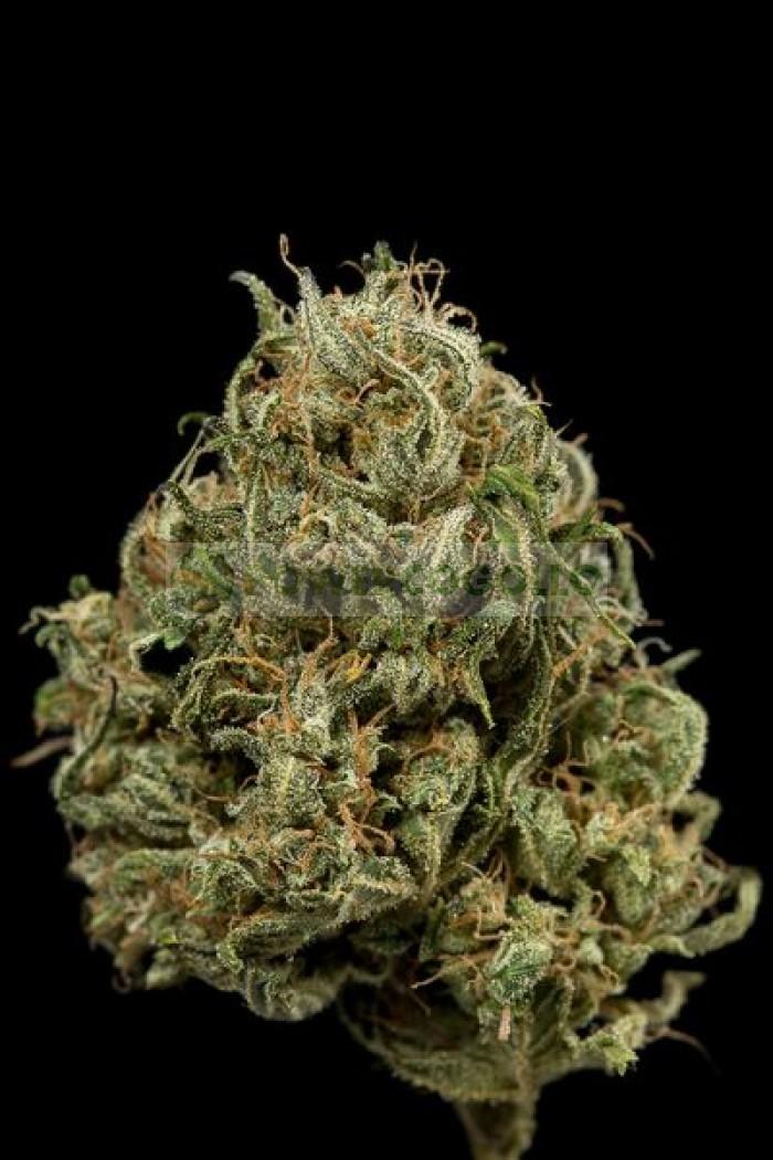 Semilla Feminizada Cheese XXL Autoflowering de Dinafem Seeds
