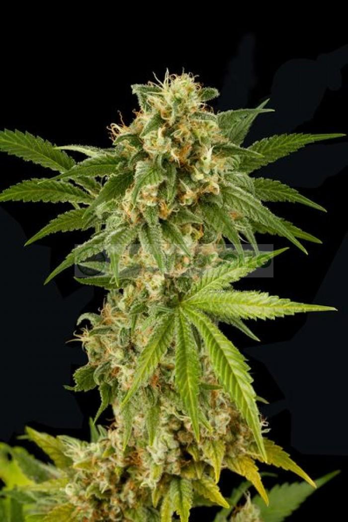 Kush'N'Cheese (Dinafem) Semilla Feminizada Cannabis
