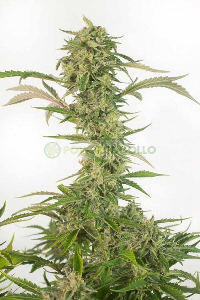 OG Kush Autoflowering CBD (Dinafem)-10 Semillas